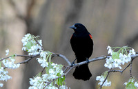 Red Winged Blackbird On Flower Branch 111204252015