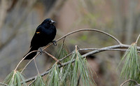 Red Winged Blackbird on Pine Branch 074304252015