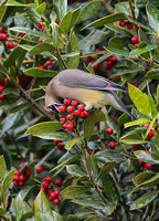 Cedar Waxwing Eating A Holly Berry 856804252015