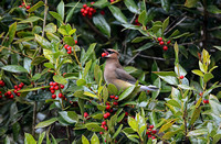 Cedar Waxwing Eating A Holly Berry 862004252015
