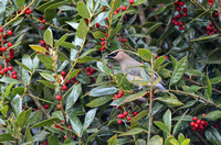 Cedar Waxwing In A Holly Bush 852804252015