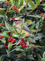 Cedar Waxwing In A Holly Bush 863204252015