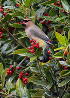 Cedar Waxwing Swallowing A Holly Berry 857004252015