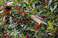 Cedar Waxwings In A Holly Bush 856604252015