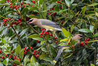 Cedar Waxwings In A Holly Bush 860104252015