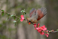 Female Cardinal and Pink Flowers 051620152060