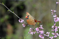 Female Cardinal On Pink Flower Branch 051620152073