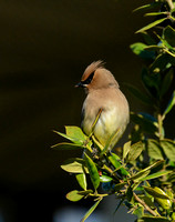 Cedar Waxwing In A Bush 051620152540