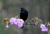 Male Cowbird On A Cherry Blossom Branch 051620152660
