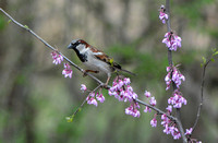 Sparrow On Pink Flower Branch 051620152353