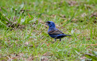 Male Blue Grosbeak In The Grass Shiloh Tennessee 052120152533