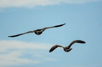 Two Canadian Geese Flying At Lake Graham 052420155307