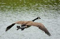 Flying Canadian Goose At Lake Graham 052620155400