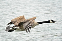 Flying Canadian Goose at Lake Graham Jackson Tennessee 052620155390