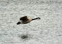 Canadian Goose In Flight 052620155513