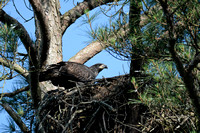 Juvenile Bald Eagle In Nest Shiloh Tennessee 052620156498
