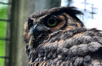 Adult Great Horned Owl In Captivity Cypress Grove Nature Park Jackson TN 052720156924