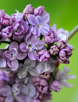 Lilac Flower Blooms On Lime Background 061120154794