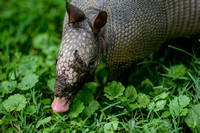 Armadillo With Muddy Face 062720150050
