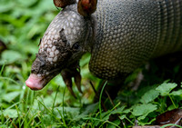 Armadillo With Muddy Face 062720150051