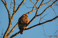 Red Shouldered Hawk In The Sun 122320168925