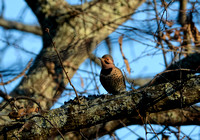 Northern Flicker Woodpecker 122320160185
