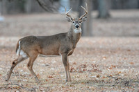 ANIMALS - DEER