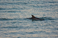 Dolphin At Sunrise Cape San Blas Florida 041720173282