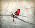 Male Cardinal Braving the Cold - Birds