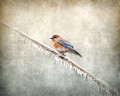 Bluebird Braving the Cold - Winter Birds