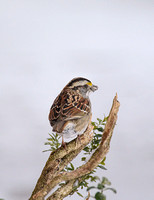 White Throated Sparrow 5936CR03072015