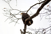 Bald Eagle on a Cold Day 120720163884