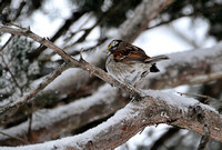 White Throated Sparrow In The Snow 487203062015