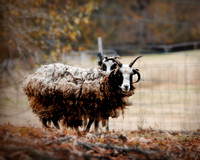 Woolly in Autumn - Jacob Sheep