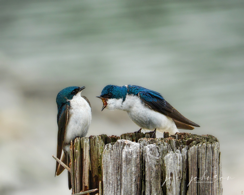 Angry Swallow