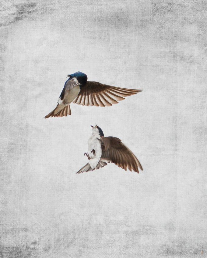 AirOBatics - Tree Swallows