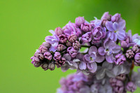 Lilac Flower On Green 061120154793