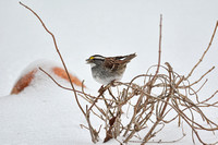 White Throated Sparrow In Winter 596203072015