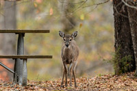 Whitetail Deer Fawn By A Picnic Table 122620166525