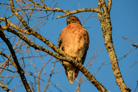 Red Shouldered Hawk In The Sun 122320169050