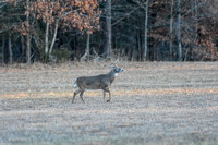 Whitetail Buck Shiloh Tennessee 122320167453