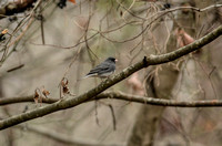 BIRDS - DARK EYED JUNCO