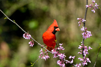 Male Cardinal On Pink Flower Branch 051620152090