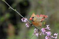 Female Cardinal On Pink Flower Branch 051620152081