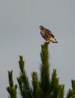 Red Tailed Hawk On A Pine Tree 122620166395