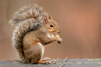 Gray Squirrel Eating Nut 120720163874