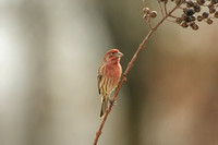 Male House Finch On A Branch 122620166337
