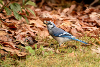 BIRDS - BLUE JAY